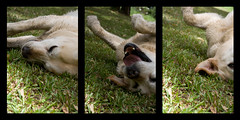 marla (gregshield) Tags: dog pet grass animal labrador rollover