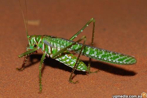 Giant enemy katydid