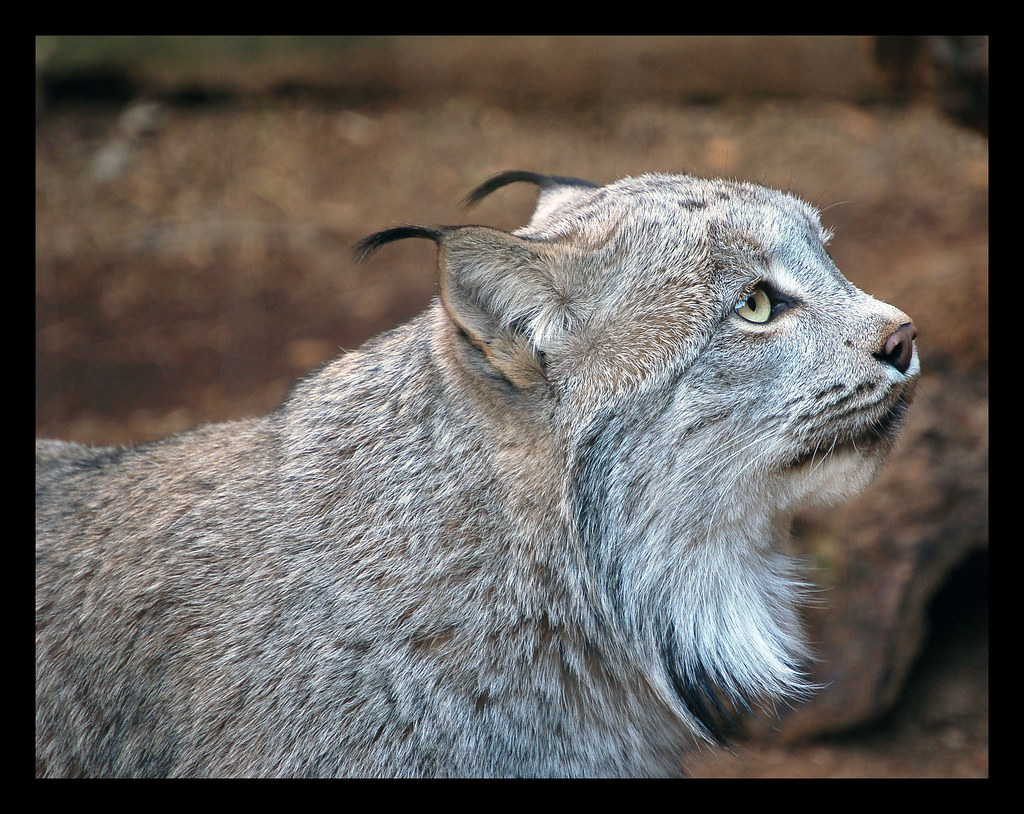 Canadian lynx.