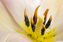 Polline (Lorenzo Angelini) Tags: flower macro rosa giallo fabulous fiore tulipano poll