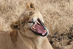 [Free Image] Animals, Mammalia, Felidae, Lion, 201104061700