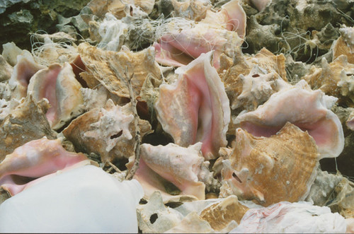 conch with fishing line