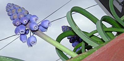 Grape Hyacinth Coaster Ride