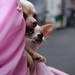チワワ:Chihuahua_33