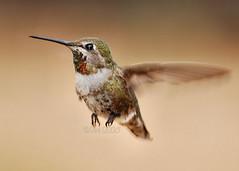 Humming Bird 8 5-24-2008 (BluAlien) Tags: life wild bird nature animal fauna nikon hummingbird action flight hummer humming birdwatcher d40 chupaflor californiawildlife chuparosa 70300mmvr natureselegantshots