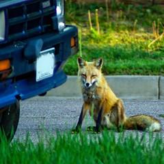 Good Morning, Fox (zyrcster) Tags: home colorado wildlife fox urbanwildlife coloradosprings photofaceoffwinner pfogold