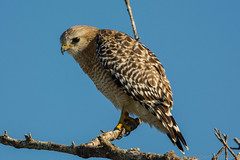 The stare {Explored} (ChicagoBob46) Tags: redshoulderedhawk hawk bird bunchebeach florida nature wildlife explore explored ngc npc