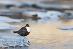 Dipper (uusija) Tags: cincluscinclus dipper bird koskikara linnut luonto nature