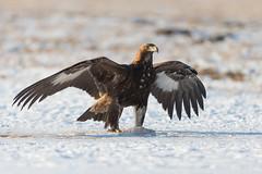 Golden Eagle (Mr F1) Tags: goldeneagle johnfanning raptor bop birdsofprey wild cold snow winter wings feathers detail outdoor nature wildlife