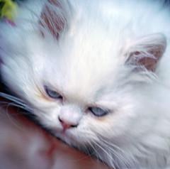 El Personaje (diegoehoyosg) Tags: gato felino mascota persa dael