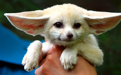 Baby Fennec fox (floridapfe) Tags: cute animal zoo adorable korea fox southkorea fennec everland  fennecfox abigfave 30faves30comments300views impressedbeauty superaplus aplusphoto 50faves50comments500views lunarvillage ysplix macromix platinumheartaward bellasrainbowcolors