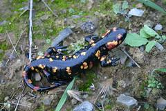 S. s. morenica (Mark Bakkers) Tags: fire adult salamander salamandra morenica