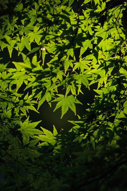 変色前の葉