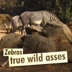 SDZoo_zebras_postcard (ocelots) Tags: sandiego zebra erection sandiegozoo wildass