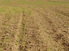 Primers indicis desprs de la sembra - Primeros indicios despus de la siembra 3 (fturmog) Tags: autumn otoo cereals cereales tardor secano sec montoliudelleida