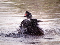 Duck Bathing (Jen Armstrong Photography) Tags: nature water canon outdoors duck pond bath powershot splash s3is