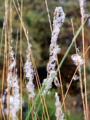 Kass (nikash parmar) Tags: nature chhattisgarh