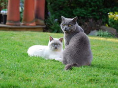 british shorthair cats by Crackers93, on Flickr