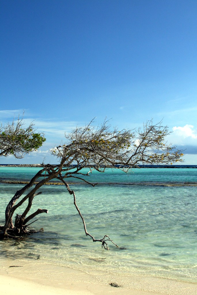 Divi Tree at Baby Beach