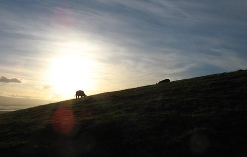 Cow, setting sun