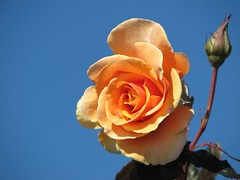 Against the sky... (Mary Trebilco) Tags: flowers roses rose explore orangerose handheld untouched nopostprocessing devonport orangeandblue whatyouseeiswhatyouget 12xzoom straightfromthecamera canonpowershots3is inverystrongwind bythemerseyriver councilgarden devonportcouncil