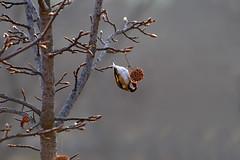 Acrobat bird (Pierpaolo.) Tags: autumn italy tree bird nature italia december bokeh natura feed albero autunno bergamo dicembre lombardia rami 2007 uccello volatile naturesfinest seriate sfuocato canoneos30d sigma70300apomacrodg avianexcellence