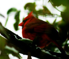 Cardinal In The Evergreen ♂ ㊚ 男 甶 (mightyquinninwky) Tags: white snow male green leaves bush dof cardinal bokeh kentucky lexingtonkentucky urbanwildlife frontyard malecardinal chevychase redbird fontaineroad chevychasearea ❄ fayettecountykentucky centralkentucky ㊚ ♂男