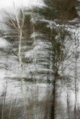Feathery (Diana Pappas) Tags: trees blur driving birch hemlock