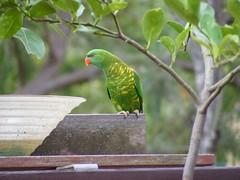 DSCF0595 (dylan.star) Tags: birds lorikeets