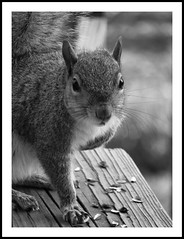 so you think your feeder is squirrel proof! (larry wfu) Tags: squirrel 15challengeswinner
