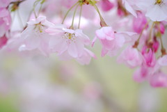 Tender Pinks (yoshiko314) Tags: pink flower nature closeup cherry spring blossom delicate fragile d60 worldbest excellentphotographerawards