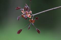 IMG_0520_1_1 (Ruggerik) Tags: primavera alberi canon spring piante soe primopiano bosco pianta naturalmente eos400d foto2008 brugheria ruggerik
