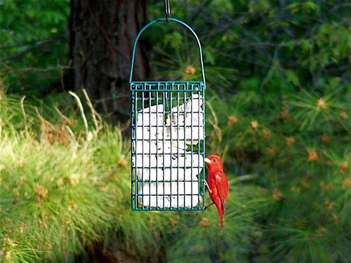 Best Suet Ever - Summer Tanager Male