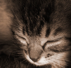Sweet Sepia Kitten