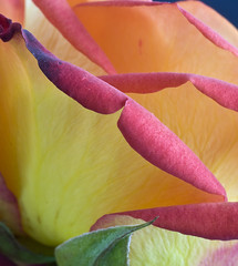 Rose 13, Colorado (sethgoldstein72) Tags: lifeisbeautiful musictomyeyes beautifulearth greatphotographers flowerscolors macromania peaceaward impressedbeauty impressedbyyourbeauty agradephoto bforbeauty flickraward flowersorcrystals flowersarebeautiful awesomeshotgroup excapture platinumstar floraandfaunaoftheworld naturalexcellence macroelsalvador flickrroseawards macroflowerlovers flowersofallkinds djangosmasterclassphotography fromheartawardsgroup exquisiteflowers qualitypixels macrosdenaturalezamacrosofnature flickrovertheshot auniverseofflowers awesomeblossoms nikonflickraward flickrflorescloseupmacros flickrpopularphotographer thebestgallery allkindsofmacroscloseups creativeyeuniverse flickrsbestseriousphotographers awesomeroses absolutelyperrrfect addictedtoflower flickrunitedaward coloursofflowers nossasfloresourflowers dreamsilldream beautifulfloras cratitudes flickrsgottalent flickrshutterspace anythingessentialisinvisibletotheeyes lovelyuniverse gorgeousimagesaward jaideuxamours excellentmacroflowers effe beautifulflowersgallery themostbeautifulmacroimages alllovelyphotos worldcupofphotography fffioriefarfalleflowersbutterflys thethreeangelslevel1blueangel thethreeangelslevel3goldenangel thethreeangelslevel2silverangel art2011 clubedaamizadecluboffriendship marvelousmacro~gallery1 egocentricadminsgroup oneseesclearlyonlywiththeheart brigettesbeautifulnaturegallery imageexcellence artselectedbyadministratorsonly flickrstruereflection1 clickapic thebestgallerybyinvitationonly