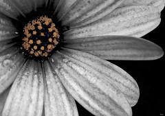 (_Zahira_) Tags: flower cutout lafotodelasemana flor nd daisy margarita desaturadoselectivo p1f1 ltytrx5 ltytr2 ltytr1