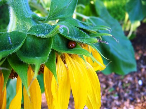 Sunflower & ladybug 1