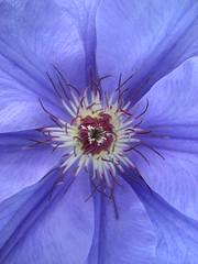Purple (periwinkle?) Clematis