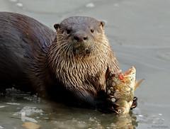 River Otter - 094A3529a2c4 (Sue Coastal Observer) Tags: riverotter lontracanadensis brydonlagoon langley bc britishcolumbia canada feeding fish ice