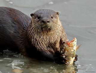 River Otter - 094A3529a2c4