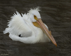 Wild White Pelican........D800 (Larry Daugherty ~ back from a long vacation!) Tags: americanwhitepelican whitepelican pelican anamalia chordata aves neornithes neoaves pelicaniformes pelecanidae pelecanus perthrorhynchos pelecanuserthrorhynchos nikon nikond800 d800 nikon500mmf4lens lulinglouisiana divingbird bird animal southeastlouisiana stcharlesparish