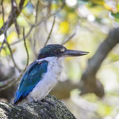 collard (now torresian) kingfisher (Fat Burns ☮) Tags: collardkingfisher todiramphuschloris mangrovekingfisher birds australianbirds fauna australianfauna mangroves mangrovehabitat sigma150600mmf563dgoshsmsports sigmateleconvtc1401nik nudgeemangroveboardwalk nikond610