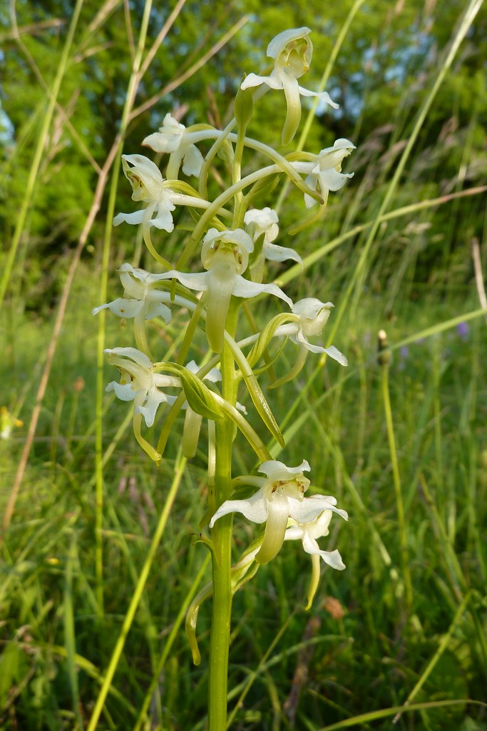 Butterfly Orchid - Platanthera chlorantha 1a