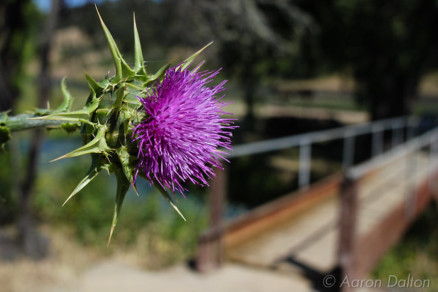 Thistle Before a Bridge