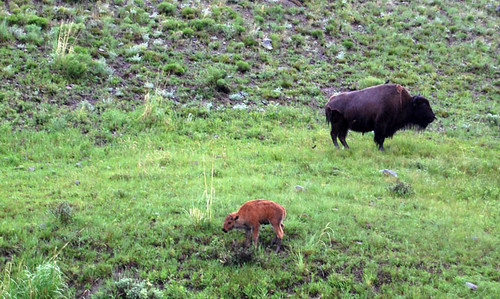 buffalo adult and baby