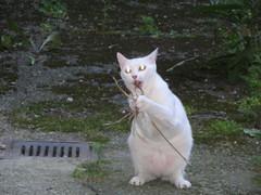 leodino entre le chien et le loup (abbesses) Tags: cats white branco cat torino chats chat gatos olhos oeil yeux occhi gato laser olho gatto bianco blanc occhio gatti lupo merveilleux bestofcats leodino catnipaddicts