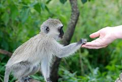 Kenya Masai Mara-575 Vervet Monkey & Susan (Tristan27) Tags: africa monkey kenya wildlife masaimara vervetmonkey cercopithecusaethiops toaddtogroups