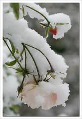 Snow rose (steffi's) Tags: pictures winter snow flower nature rose novembre rosa elfe hybrid 1945 fridaysflowerpower vigorous naturesfinest blueribbonwinner rosepink steffis polyantha repeats supershot tantau semidouble diamondclassphotographer steffisblumenbilder steffisflowerpictures