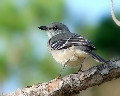 ....and if that mocking bird won't sing....