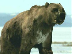 21 short faced bear